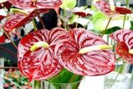 Антуріум - «квітка-фламінго»