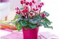 Розмноження та вирощування цикламена в домашніх умовах