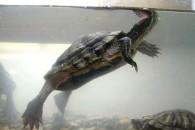 Утримання та догляд красноухих черепах в домашніх умовах - фото і відео