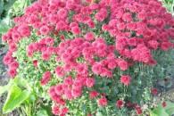 Догляд та вирощування хризантем в домашніх умовах