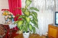 Догляд за кімнатною квіткою диффенбахія в домашніх умовах